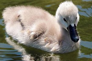 A cygnet. Picture for illustrative purposes from Pixabay.