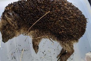 The poor hedgehog didn't make it. Picture supplied by the RSPCA.