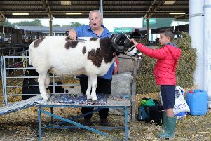 Geoff Wood with his grandson Harry Webb prepare a sheep for show at the Great Yorkshire Show.