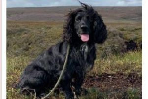 Mudd the four-year-old cocker spaniel