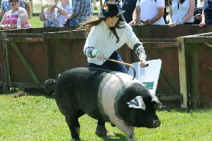 Alex Jones, presenter of BBC's The One Show taking part in 'One Man and his Pig' classes at the Great Yorkshire Show in 2015. Picture by Gary Longbottom.