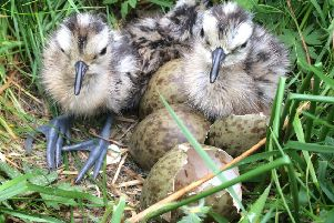 Curlew chicks. Picture by Suzanne Martin