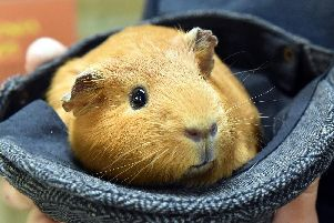 Guinea pig (Photo: Tom Lord)
