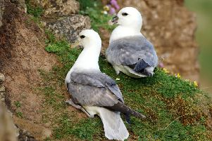 Fulmars on the cliff. Picture by John Joseph Dunn