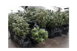 Inside they found the cellar had flooded, making the bypassed electricity supply to a cannabis grow upstairs dangerous. Officers seized one remaining cannabis plant and growing equipment from the attic.
