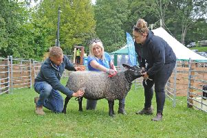 Josh Martin, Britt Whitworth and Paige Ives from Leeds prepare their Blue Texel sheep for judging at the 137th Bingley Show in Myrtle Park. Picture by Tony Johnson.