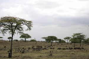 Generic view of Zebras and Wildebeast  in Selous Game Reserve (Photo JOSEPH EID/AFP/Getty Images)