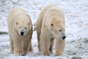 Polar bears at Yorkshire Wildlife Park in their element