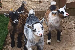 The goats are now back home and are recovering after their ordeal.