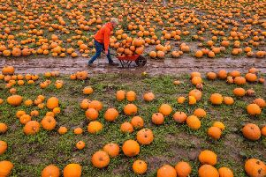 Maxey's Farm in Kirklington, Nottinghamshire, is one of the UK's biggest pumpkin farms