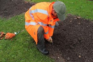 Planting begins of the Mayflower 400 daffodil bulbs in Gainsborough.