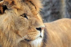 Mojo, a popular lion who has died after a fight with females leaving him with sustained injuries in Knowlsey safari park