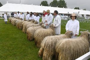 Lincolnshire Show. Lincoln Longwool judging