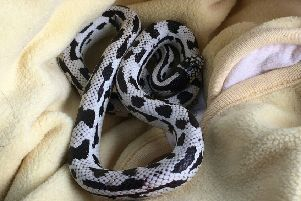 The RSPCA rescued a stray California kingsnake who was found beneath the cash machine of a supermarket