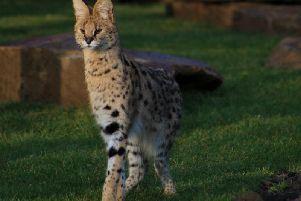 The wild cat was discovered at a house in Halifax