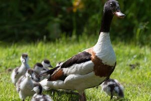 Kids and adults will love the Fluffy Duckling Weekend at WWT Martin Mere