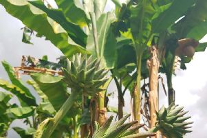 Nostell Priory has banana plants