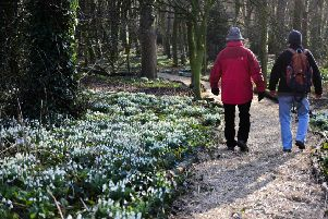 Walking among the snowdrops at Greatham Hall Gardens, Hospital of God, Greatham, on Sunday.