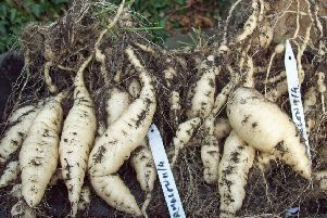 The white tubers can be stored like dahlias.