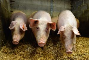 The pig classes at Ryedale Show have been cancelled. Picture by Bruce Rollinson.
