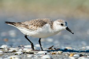 A sanderling can be seen in Morecambe Bay.