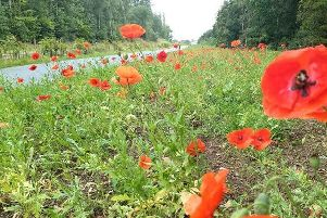 Poppies alongside the busway