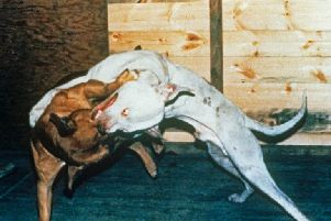 Dog fighting still goes on in the region