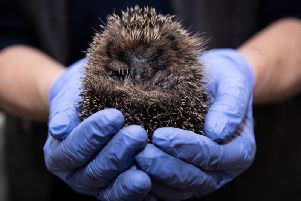 British hedgehogs are under threat due to climate change, use of pesticides and loss of habitat, according to a South Ribbleformer nurse who rescues them.