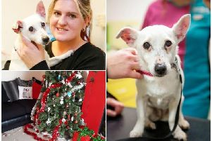 Lily, a 14-year-old Parsons Russell Terrier, who had to be rushed to a PDSA Pet Hospital for life-saving treatment after she ate at least four chocolate Santa decorations from their Christmas tree.