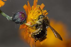 The European wool-carder bee scrapes hairs from plants for  their nests. Photo by Stephen Plant.