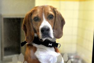 A Beagle similar to the one police are searching for