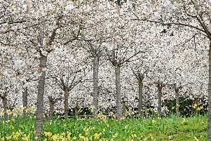 In full bloom - the Cherry Orchard at The Alnwick Garden. Picture by Jane Coltman