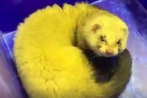 The ferret was found snooping around Lancashire Archives on Thursday, April 25. Pic - Lancashire County Council