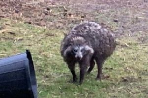 The owner of two dangerous raccoon dogs that escaped their enclosure has branded the ensuing media storm 'ridiculous'.