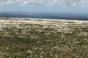White flowers blooming on the Winter Hill near Bolton