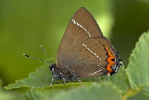 Rare White Letter Hairstreak butterflies have been spotted near the site recently.