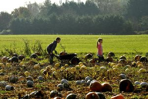 Pumpkin picking in Leyland