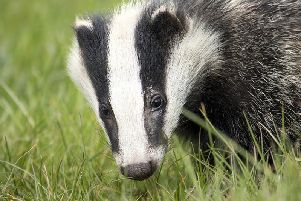 'We could see the deaths of thousands of badgers.'