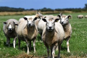 Outbreaks of Foot and Mouth disease in 2001 and bluetongue virus in 2007 caused major bans on livestock movements. Picture by Jonathan Gawthorpe.
