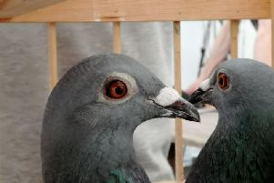 Pigeons can match maximum motorway speeds if the conditions are favourable