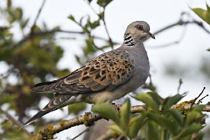 Turtle dove Streptopelia turtur, adult perched in elderberry, Titchwell RSPB Nature Reserve, Norfolk, September. Picture: Richard Brooks