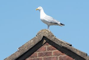 Herring gulls and similar species are protected by law