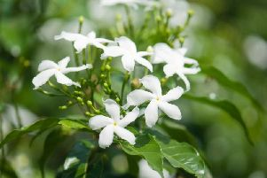 Try growing jasmine in the bedroom
