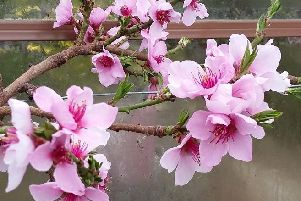 The delightful, large, pink peach blossom. Picture by Tom Pattinson.