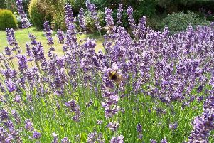 Lavender plants, which are a favourite with bees, can age quickly without annual pruning. Picture by Tom Pattinson.
