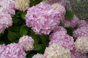 Leave the spent hydrangea blooms in place to protect the lower embryo flower buds. Picture by Tom Pattinson.