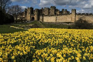 A host of golden daffodils.....Picture by Jane Coltman