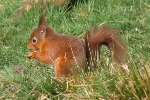 The young red squirrel pictured at the Wallington estate.