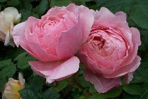 Rose petals look beautiful and are also safe to eat, but not all plants are as harmless. Picture by Tom Pattinson.