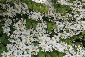Viburnum plicatum 'Mariesii' is outstanding in a mixed border, with its large white flower heads. Picture by Tom Pattinson.